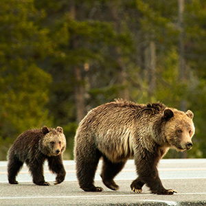 Grizzly Sow & Cub Crossing Highway