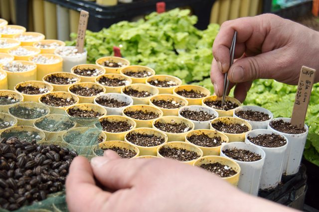 Propagation Specialist plants seeds at Columbia Falls High School Cooperative Greenhouse