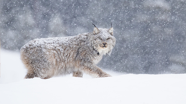 Lynx walking on snow.