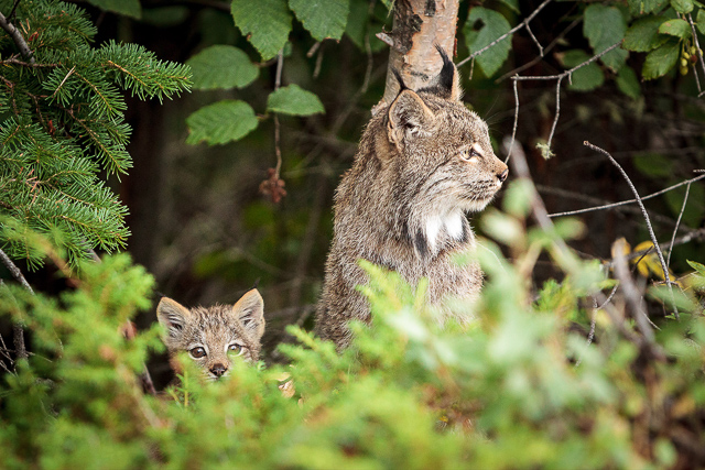 Lynx and kitten sitting in the forest.