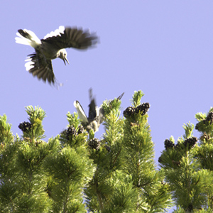 Clark's Nutcracker getting ready to land on a tree with pinecones.
