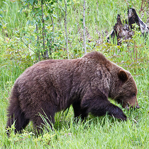 Grizzly bear digging in grass.