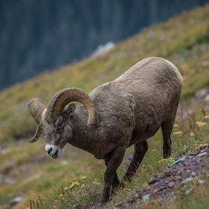 Bighorn Sheep walking down a hill.