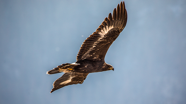 Golden Eagle flies with outstretched wings