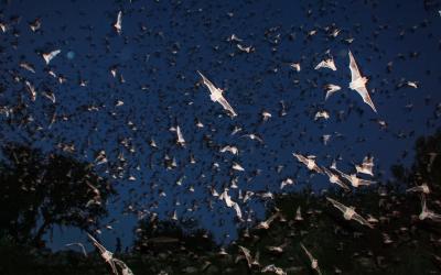 Bats In Glacier