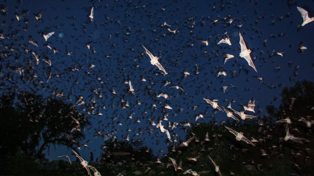 Flash illuminates a cloud of bats flying overhead in the night sky