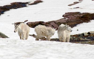 Goat Tracking 3.0