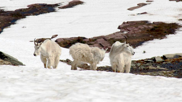 Mountain goats traversing a snowfield at Logan Pass in Glacier National Park