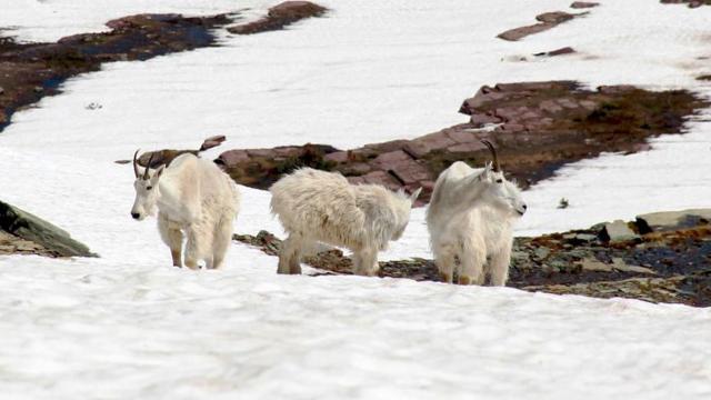 Mountain goats traversing a snowfield at Logan Pass in Glacier National Park
