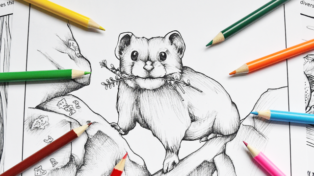 An excerpt from Glacier Educational Coloring Book featuring a sketch of a pika with colored pencils surrounding it