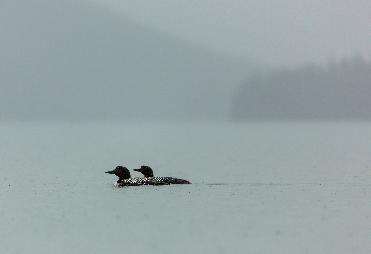 Two Common Loons swim in an alpine lake during a rain shower