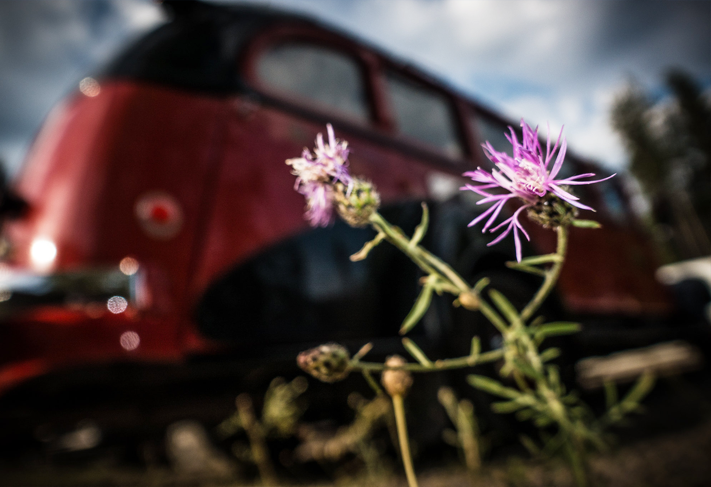 Purple spotted knapweed grows alongside the road next to a large red bus
