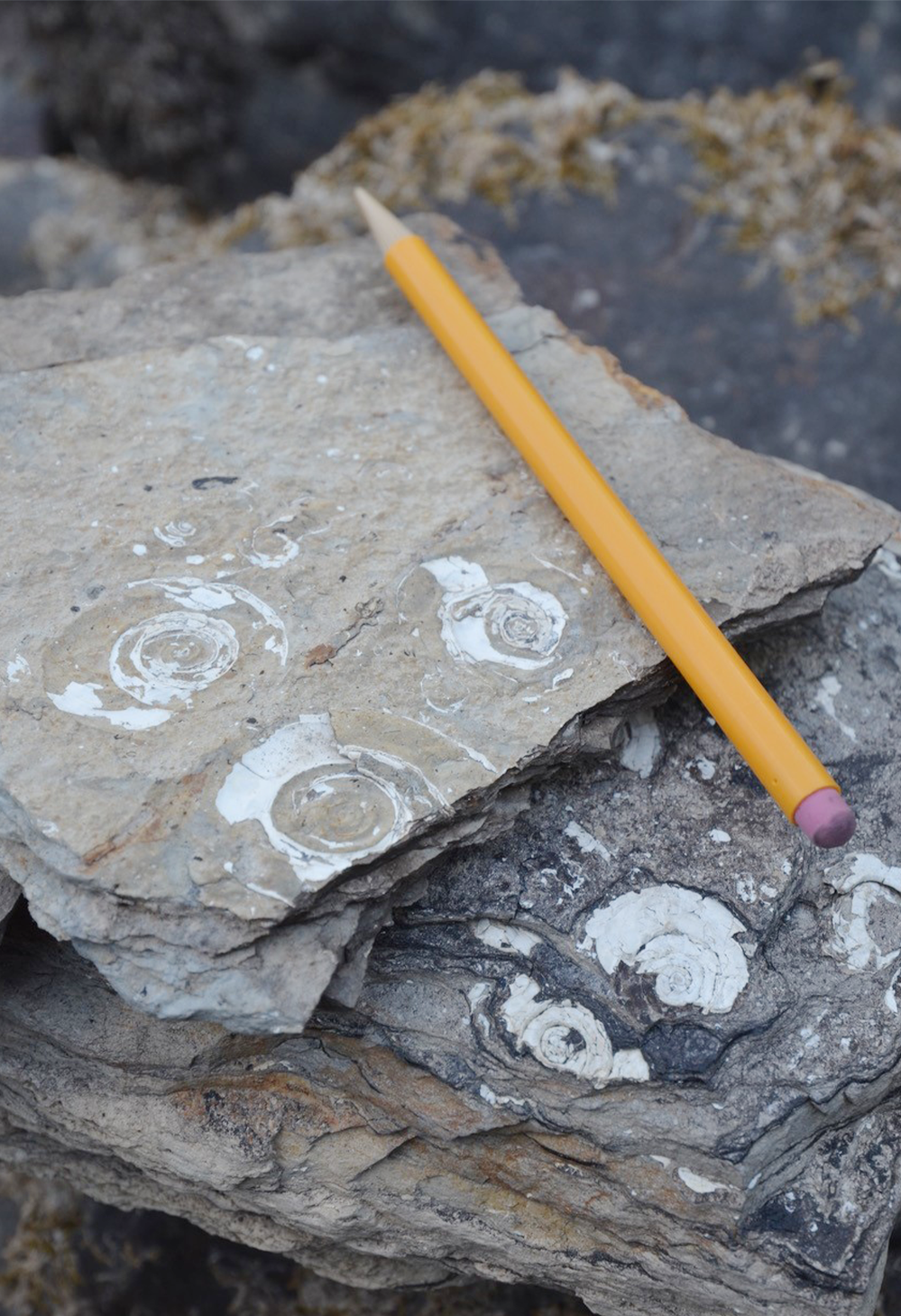 A pencil sits next to snail fossils imbedded in a rock