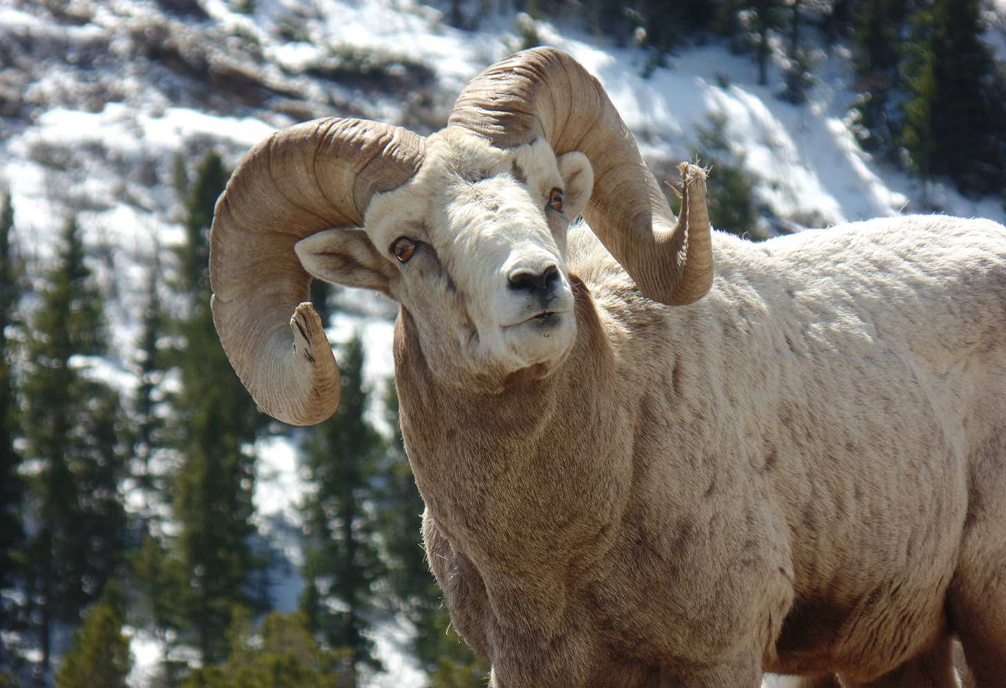 A bighorn sheep with large curved horns look at camera with snow and trees in the background