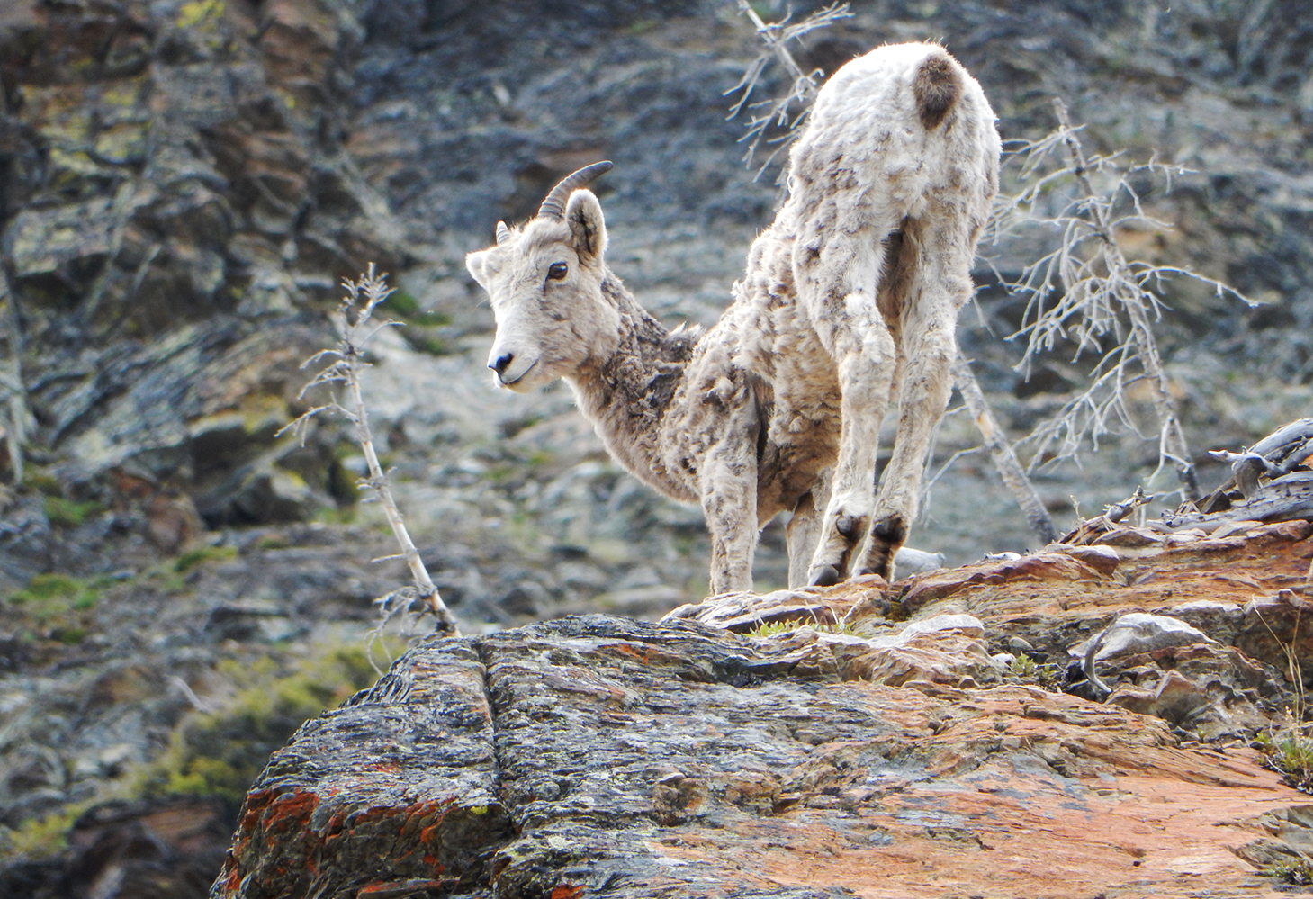 A bighorn stands on the edge of a cliff face
