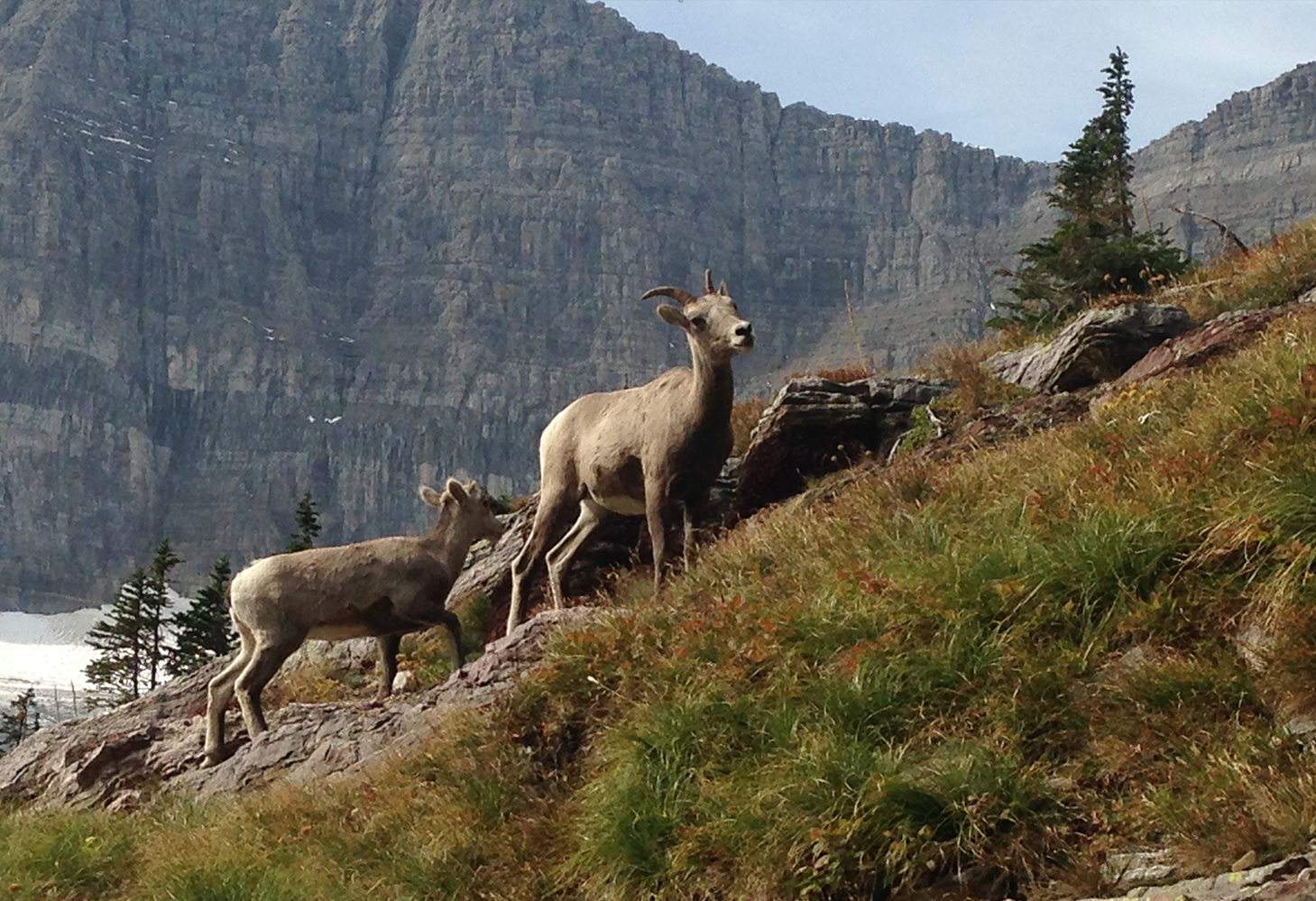 A bighorn ewe and lamb graze along a meadow in the alpine of the Rocky Mountains