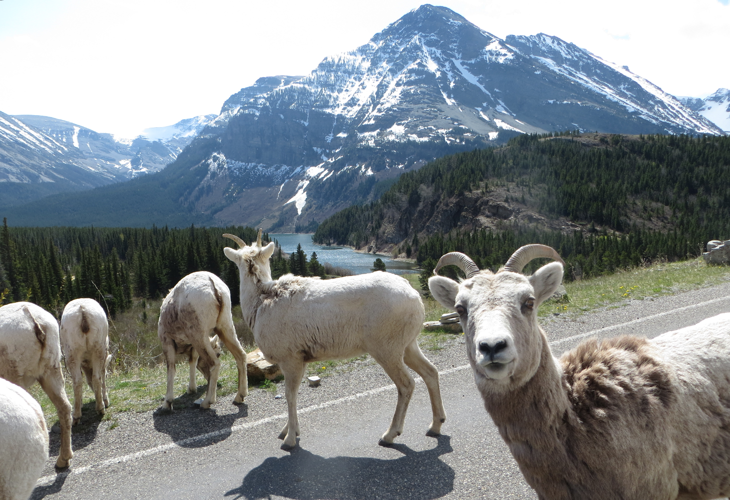 A herd of bighorn sheep graze alongside a road with a lake and mountains in the distance