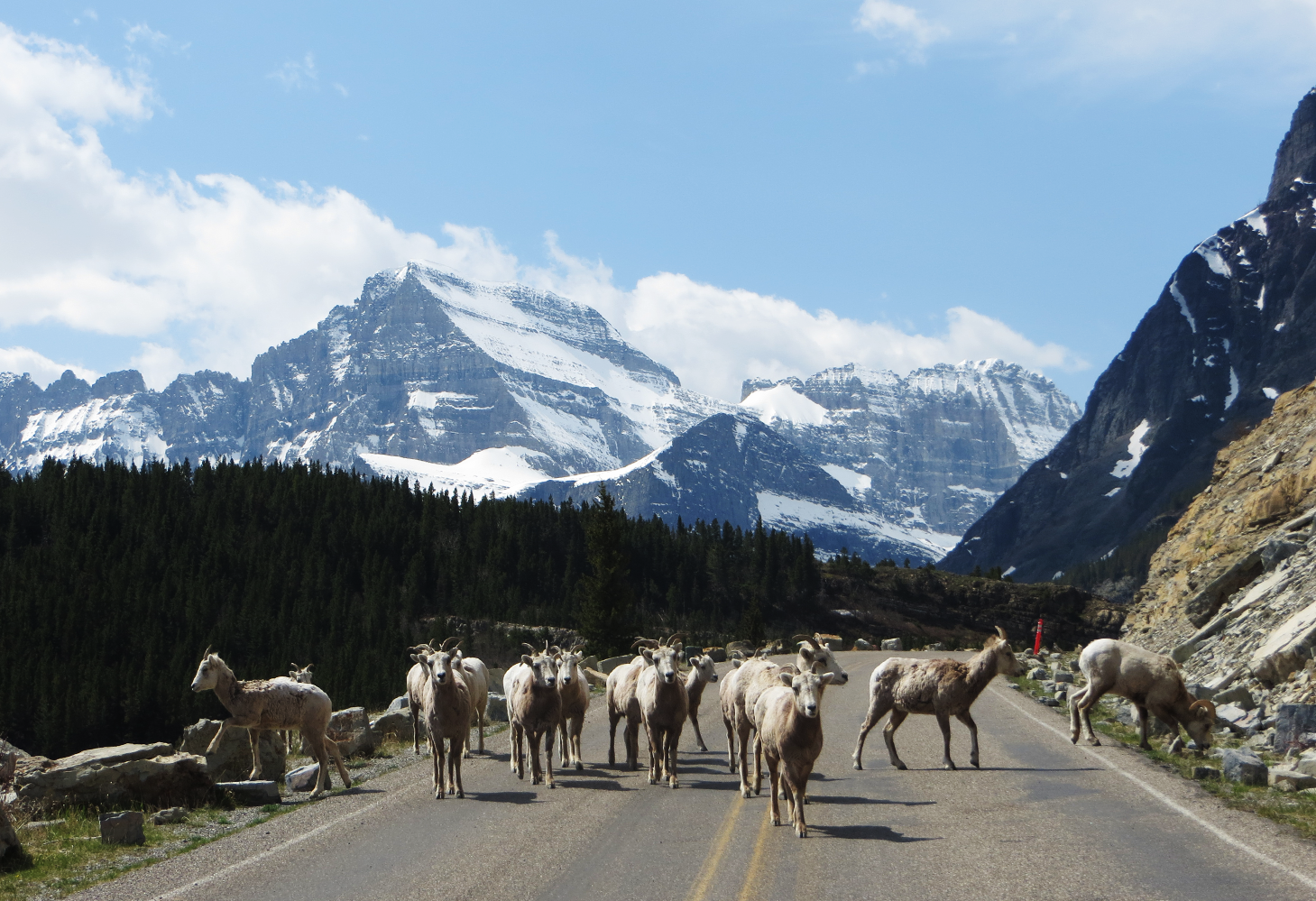 A flock of bighorn sheep traverse a road with snowcapped mountains in the distance