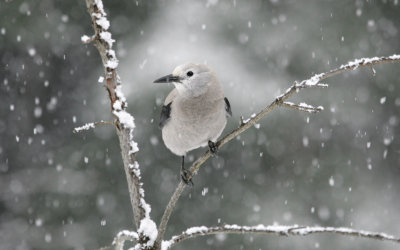 Get Involved with Clark's Nutcracker Nest Sightings