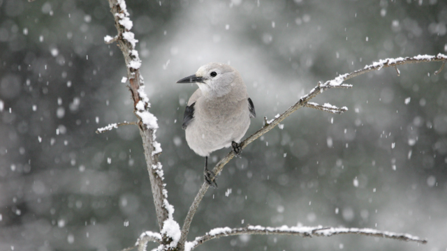 A Clark's Nutcracker (gray bird with black markings and black beak) perches on a snow dusted tree branch while snow falls in the background