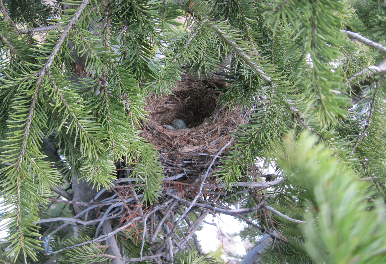 A bird nest sits in a pine tree with light blue eggs