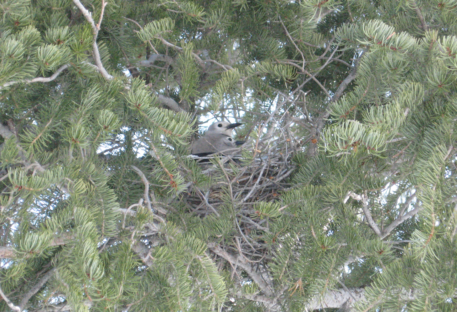 A Clark's Nutcracker sits in its bird nest along with chicks