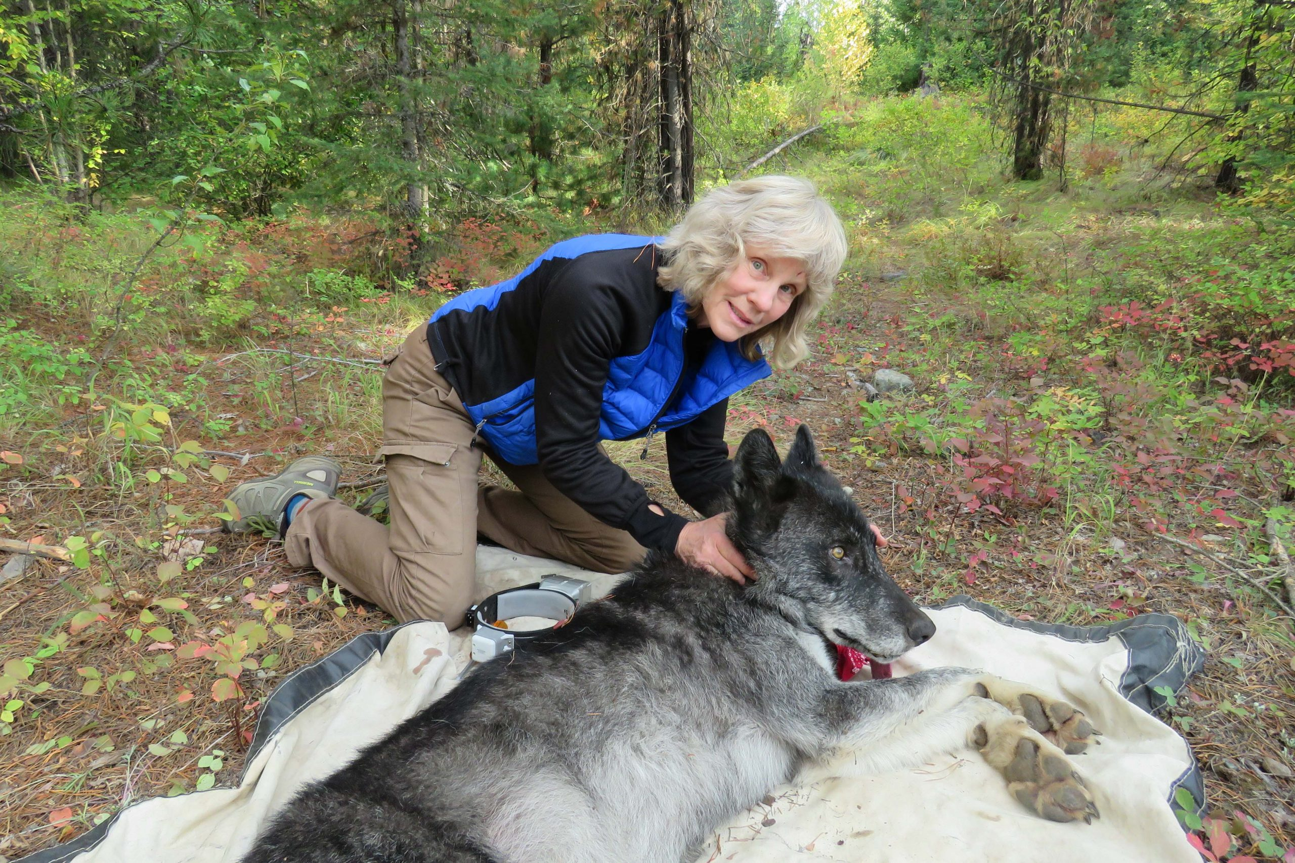 Dr. Diane Boyd sits next to a sedated wolf while conducting wolf research in Montana