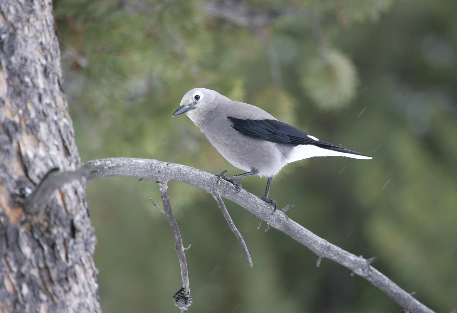 A Clark's Nutcracker (gray bird with black markings and black beak) perches on a tree branch while light rain falls in the background