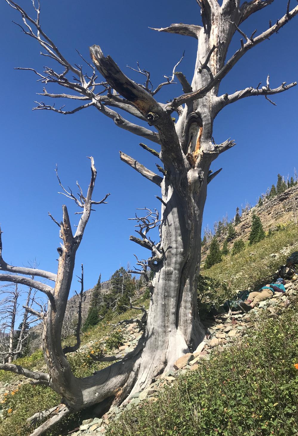 A researcher naps under a dead whitebark pine tree amidst an alpine landscape in Glacier National Park.