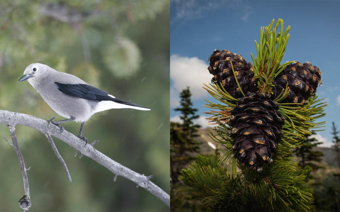 Restoring Keystone Species In Glacier National Park