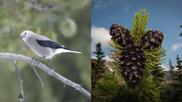 A collage featuring a Clark's Nutcracker and whitebark pine cones