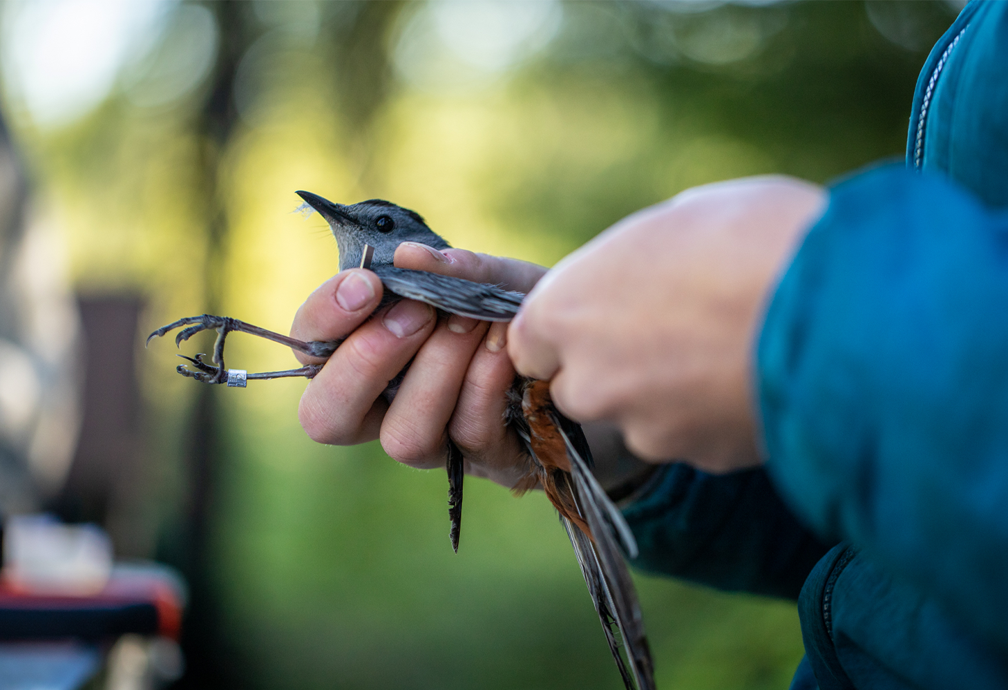 A bird is banded in part of a research study on birds being conducted in Glacier National Park