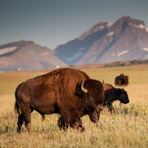 Bison walking on grass with mountains in the background.