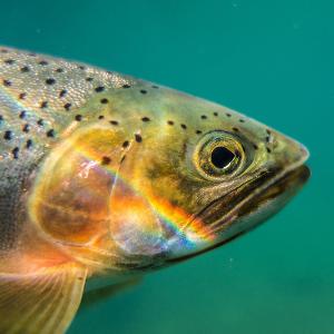 Speckled fish underwater